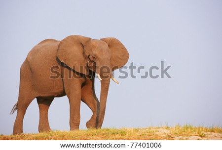 Large African elephants (Loxodonta Africana) standing in savanna in Botswana - stock photo