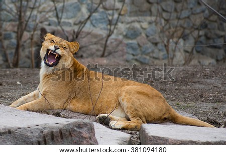 Large African lion at the zoo in nature