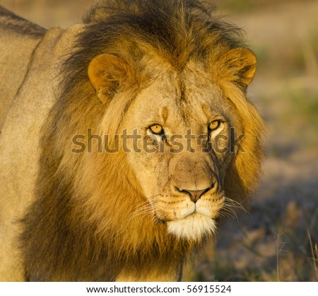 Large African lion close-up - stock photo