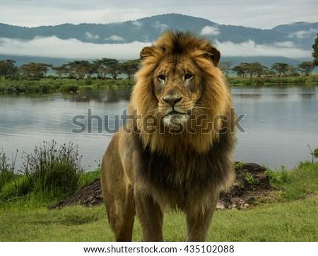 Large African male lion at lake on Serengeti plains - stock photo