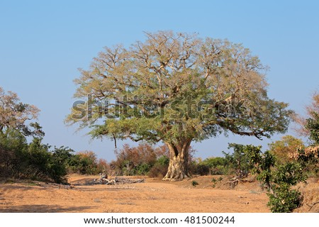 Large African wild fig tree (Ficus spp.), Kruger National Park, South Africa