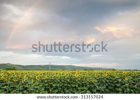 Large agricultural land with sunflowers, maize and others. amid dramatic sky with a rainbow - stock photo