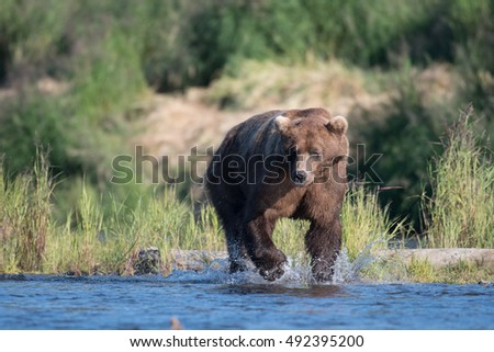 Large Alaskan brown bear running through shallow water in Brooks River in Katmai National Park, Alaska.