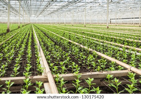 Large and advanced greenhouse with many young Chrysanthemum plants. - stock photo