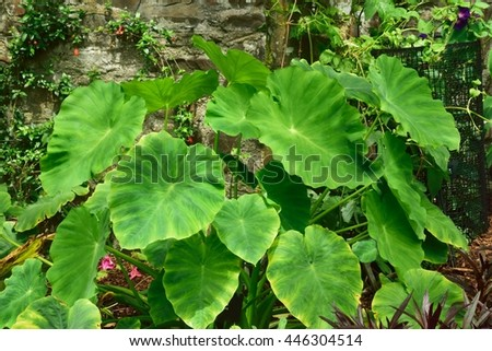 Large and Beautiful exotic leaves . - stock photo