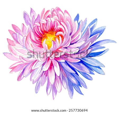 large and very detailed painting of chrysanthemum flower. large astera daisy in watercolor, isolated on white - stock photo