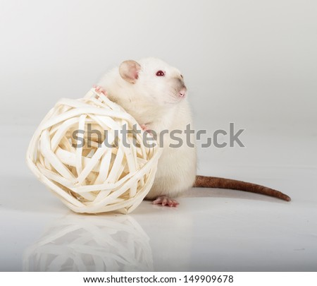 large and well-fed white rat - stock photo