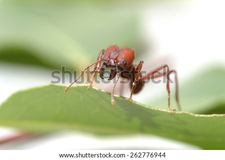 Large ants on green leaf.. Macro photography. - stock photo