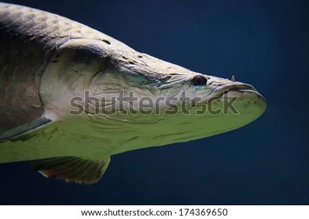 large Arapaima in the Amazon under water - stock photo