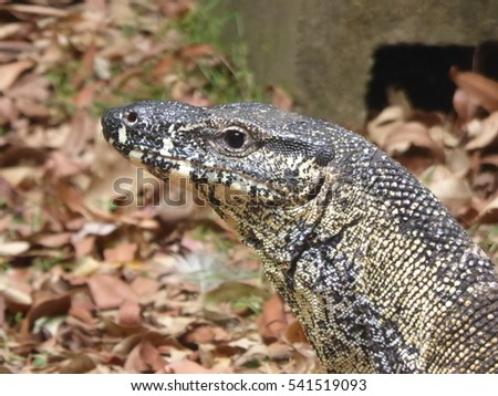 Large Australian Go-anna or monitor lizard visits our garden