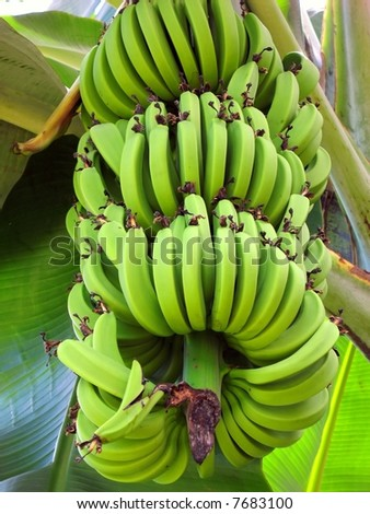 Large Banana Bunch -- a heavy cluster hanging from a banana plant