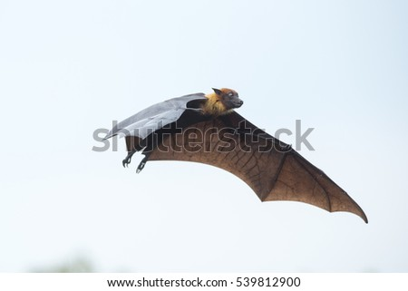 Large bat flying in nature