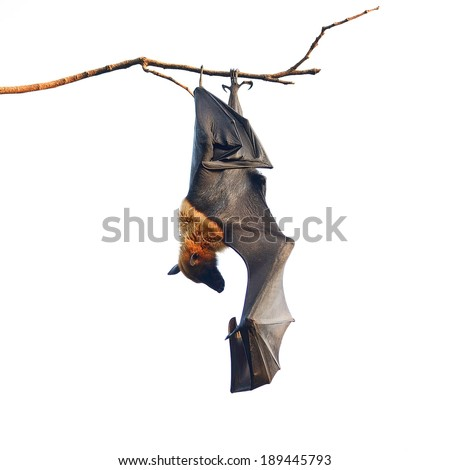 Large Bat, Hanging Flying Fox (Pteropus vampyrus), during the sleeping period in nature background