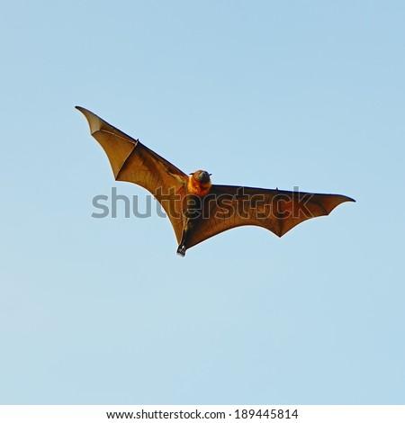 Large Bat, Hanging Flying Fox (Pteropus vampyrus) in blue sky background - stock photo