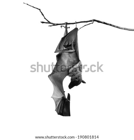Large Bat, Hanging Flying Fox (Pteropus vampyrus) in monochrome - stock photo