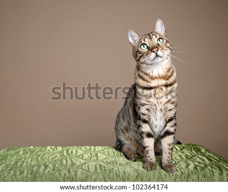 Large bengal leopard cat sitting for studio shot - stock photo
