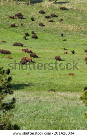 large bison herd feeding on the green spring grass in South Dakota - stock photo