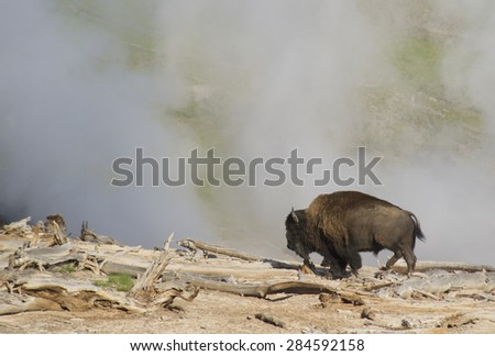 Large Bison strolls along a steaming geyser. - stock photo