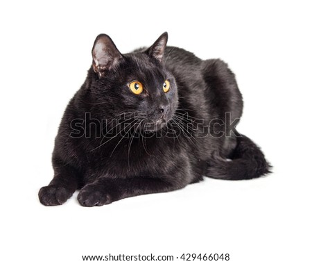 Large black adult cat lying down on white studio background