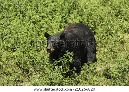 Large Black bear - stock photo