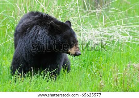 Large Black Bear - stock photo