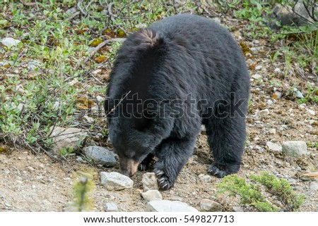 large black bear foraging in forest