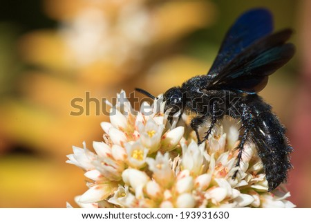 Large black spider wasp on top of a white composite flower with soft background - stock photo