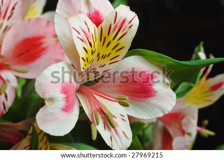 Large bloom in a large lily bouquet