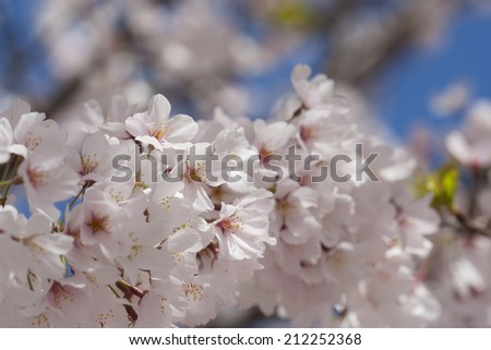 large branch of pink cherry blossoms with blurred blue sky background - stock photo