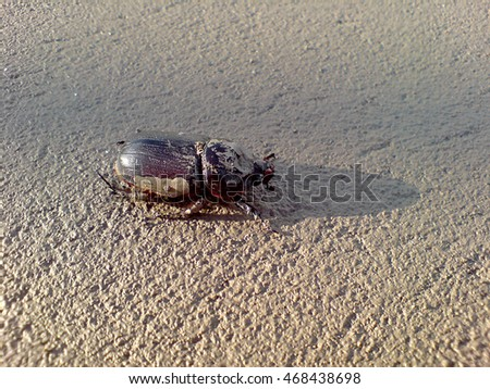 Large brown beetle on the wet sand after the tide