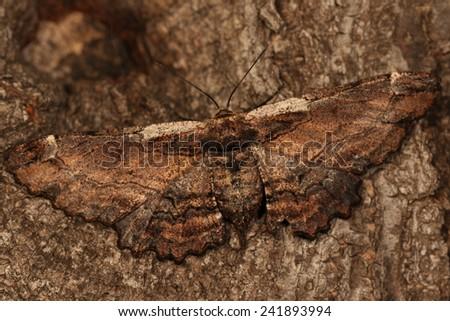 Large brown moth - stock photo