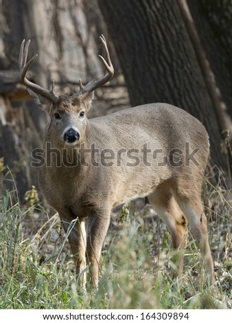 Large Buck looking at you