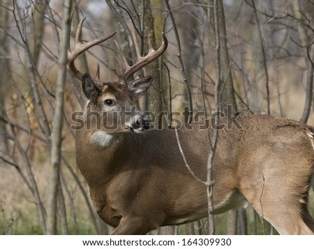 Large Buck looking back - stock photo