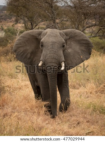 Large bull Elephant close up with African savanna in the background.