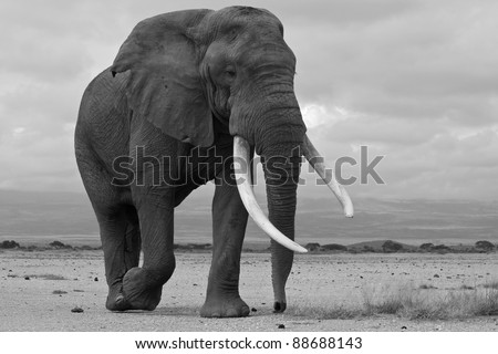 Large bull elephant looking for females, Amboseli National Park, Kenya