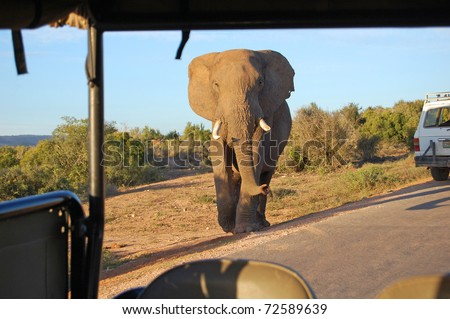 large bull elephant seen from safari vehicle - stock photo