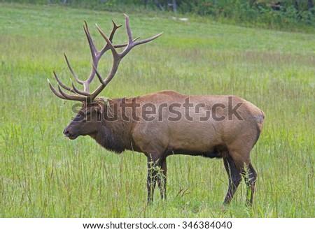 Large Bull Elk in Cataloochee, feeding on green grass. - stock photo
