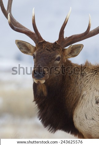 Large bull elk stag close portrait stock photo edit now 243625576 large bull elk stag close up portrait against a natural background 7 by 7 point publicscrutiny Image collections
