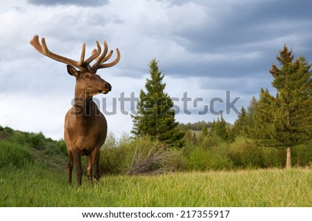 Large Bull Elk Stag in Yellowstone National Park meadow antlers in velvet environmental portrait family summer vacation wildlife viewing in Lamar Valley, Wyoming Rocky Mountain