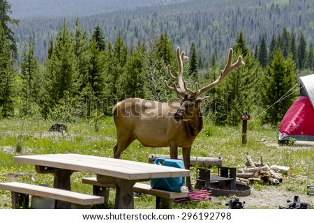 Large bull elk with full set of antlers in summer velvet visiting campsite with red tent in forest campground on summer afternoon - stock photo