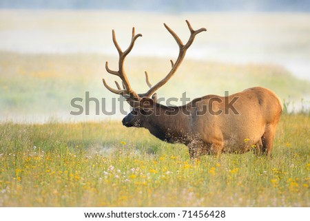 Large bull elk with vevlet covered antlers standing in meadow of lush grass and wild flowers. - stock photo