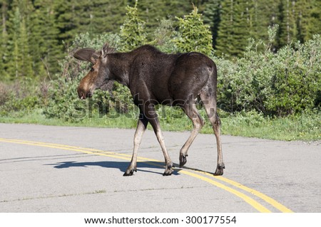 Large bull moose Crossing the road - stock photo