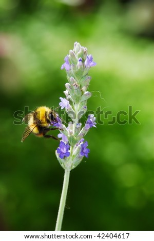 Large bumblebee on a pale purple lavender flower with green background - stock photo