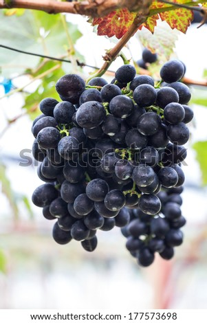 Large bunch of red wine grapes hang from a vine, warm. Ripe grap - stock photo