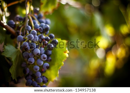 Large bunch of red wine grapes hang from a vine, warm. Ripe grapes with green leaves. Nature background with Vineyard.  Wine concept - stock photo