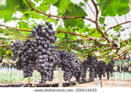 Large bunch of red wine grapes hang from a vine with green leave. - stock photo