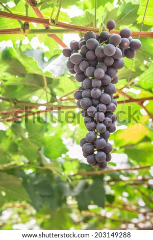 Large bunch of red wine grapes hang from a vine with green leaves. Nature background . Wine concept. - stock photo