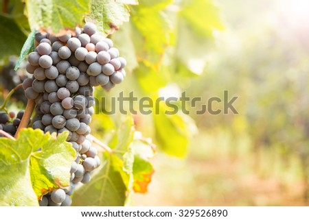 Large bunch of red wine grapes. Ripe grapes with green leaves in direct sunlight. Nature background with vineyard. Wine concept. Horizontal, warm color, direct sunlight - stock photo