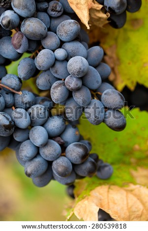 Large bunch of red wine grapes. Whole background. - stock photo