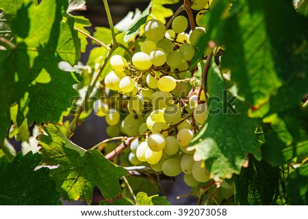 Large bunch of white wine grapes hang from a vine. Ripe grapes with green leaves. Wine concept. - stock photo